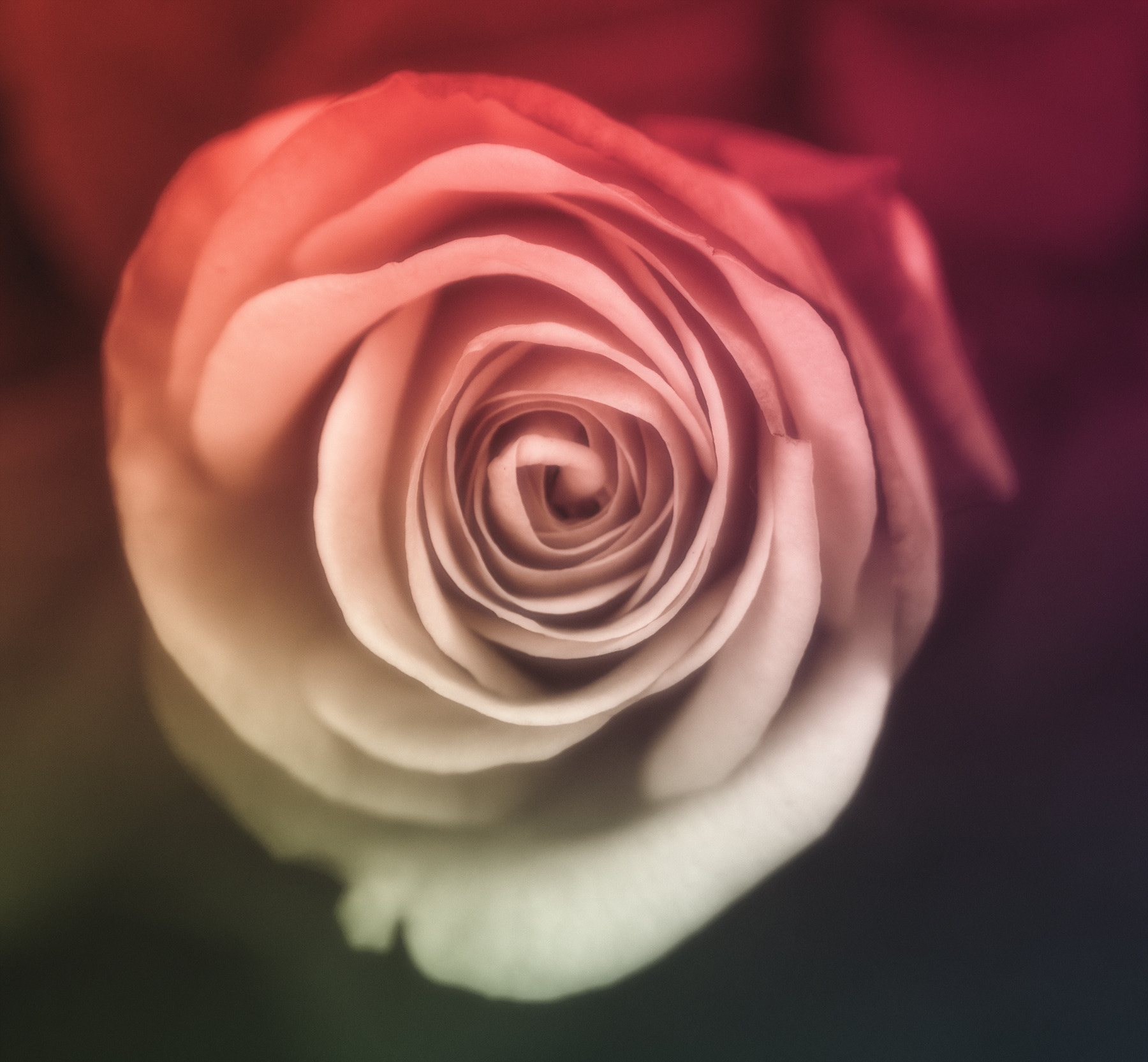 Photograph Rose by Ola Warringer on 500px