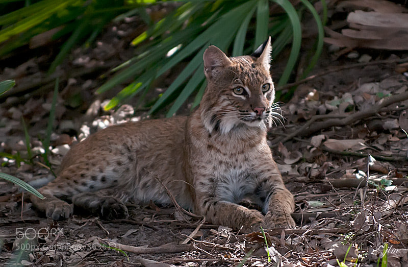 This is the mother bobcat of the recent baby bobcat images that I posted.  She is so beautiful and so regal.  She was taking time out to rest as I am sure four little bobcat babies keep her busy both in their demands for food and also they love to play.  It was awesome to have a moment to just look at her as she truly is magnificent.
