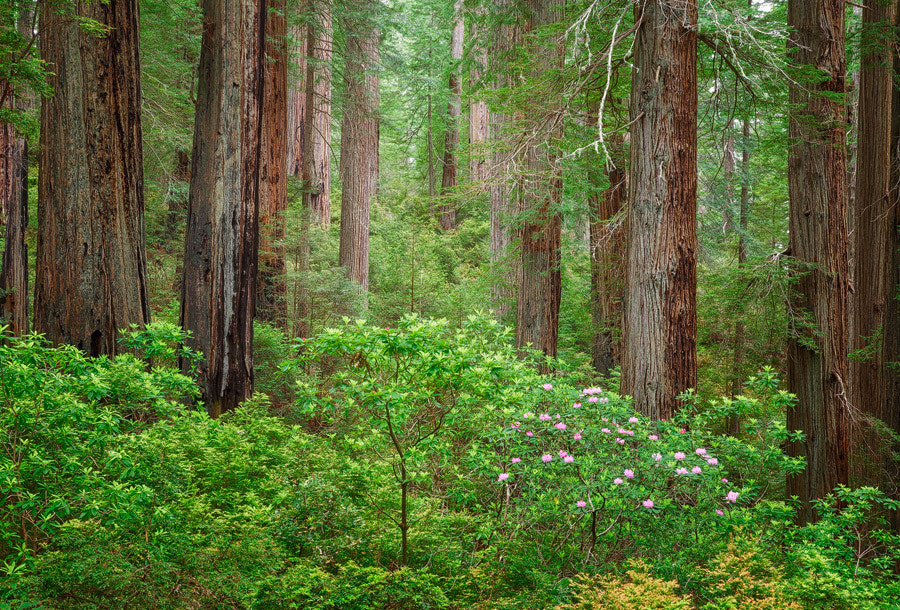 Photograph Del Norte Redwoods by Michael  Breitung on 500px