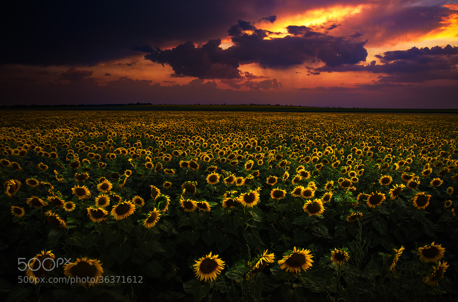 Photograph Sunflower field by Cristi Jora on 500px