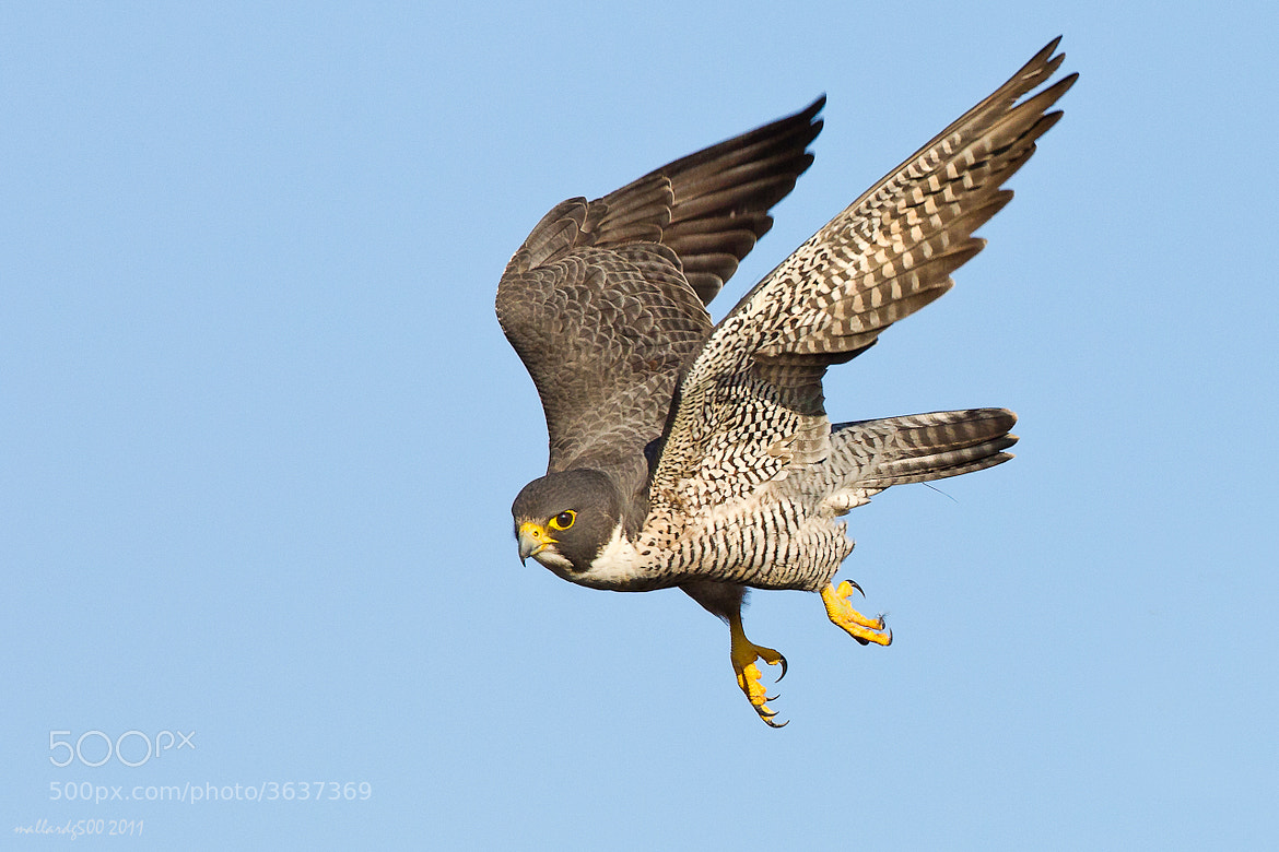 Photograph Peregrine Falcon by Phoo (mallardg500) Chan on 500px