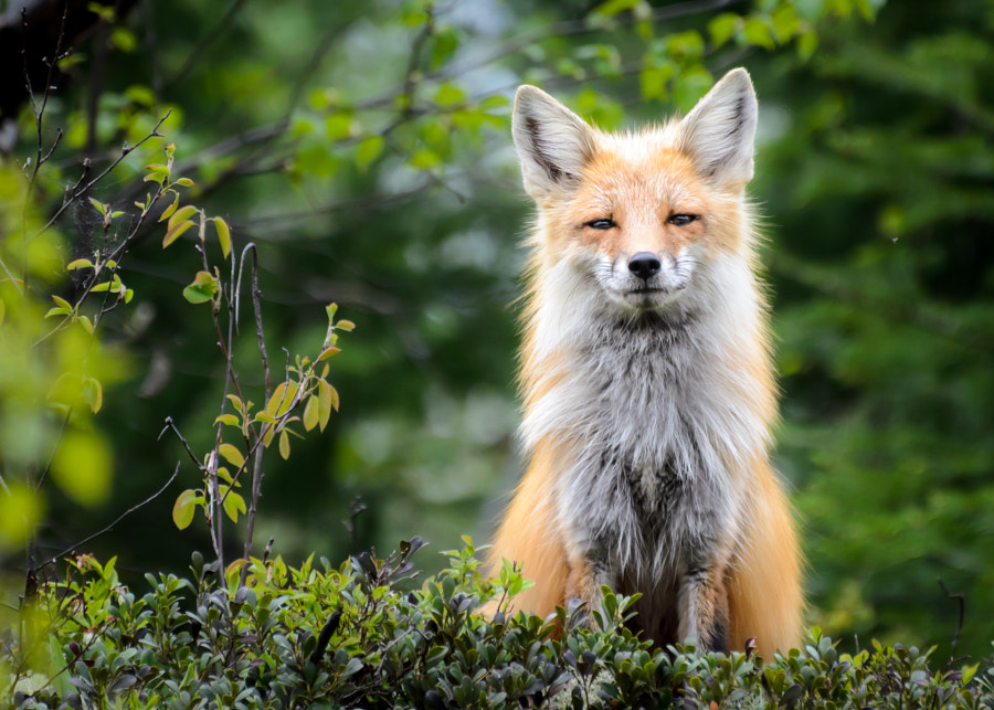 Fox by Laurens Kaldeway on 500px.com