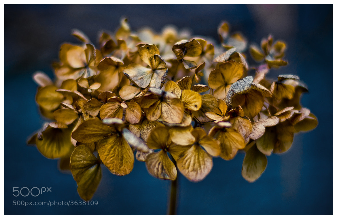 Photograph Dried Hydrangea by martin ollman on 500px
