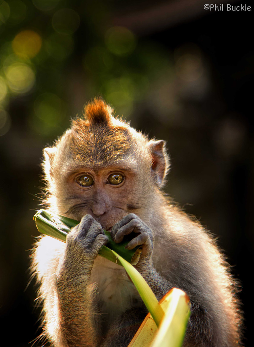 Photograph Balinese Macaques by Phil Buckle on 500px