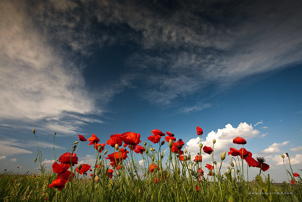 Photograph field with poppies by Igor Sirbu on 500px