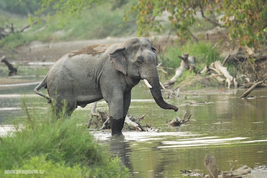 Photograph  Asiatic elephant (Elephas maximus) by Peter Krejzl on 500px