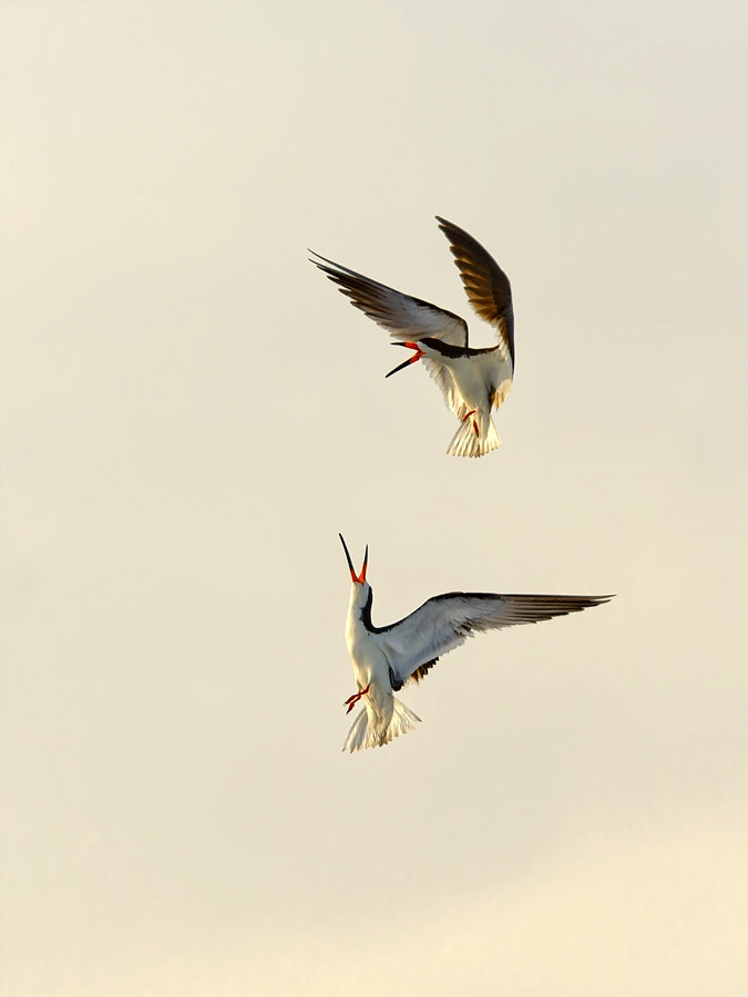 Photograph Two Skimmers by Darek Siusta on 500px