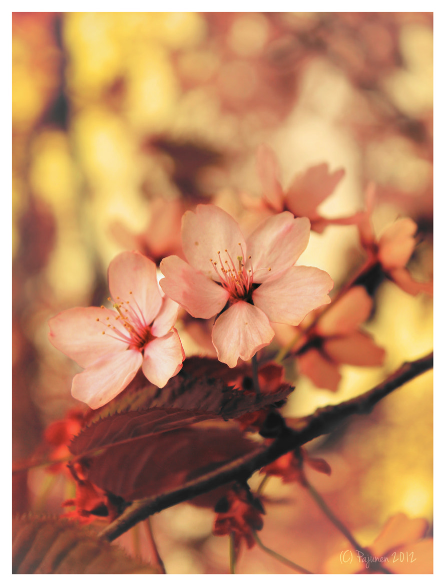 Photograph Cherry Blossom by Tomi Pajunen on 500px