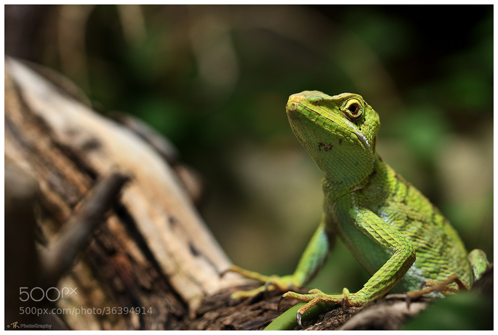 Photograph Basiliscus  by Tobi K on 500px