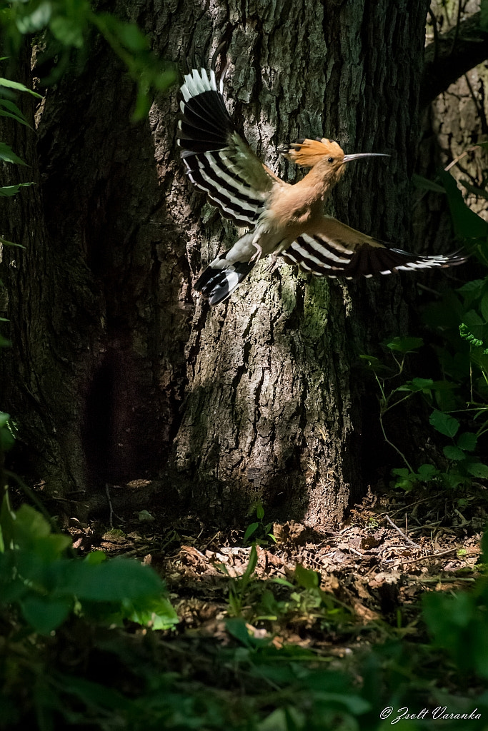 Photograph Hoopoe leaves the nest by Zsolt Varanka on 500px