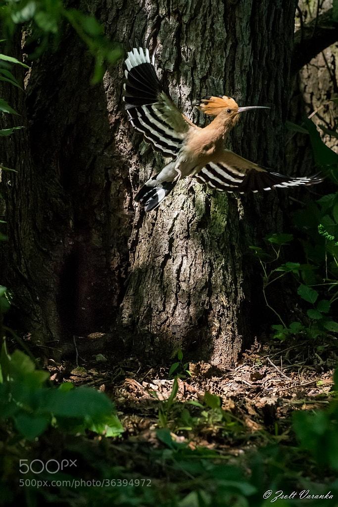 Photograph Hoopoe leaves the nest by Zsolt Varanka on 500px