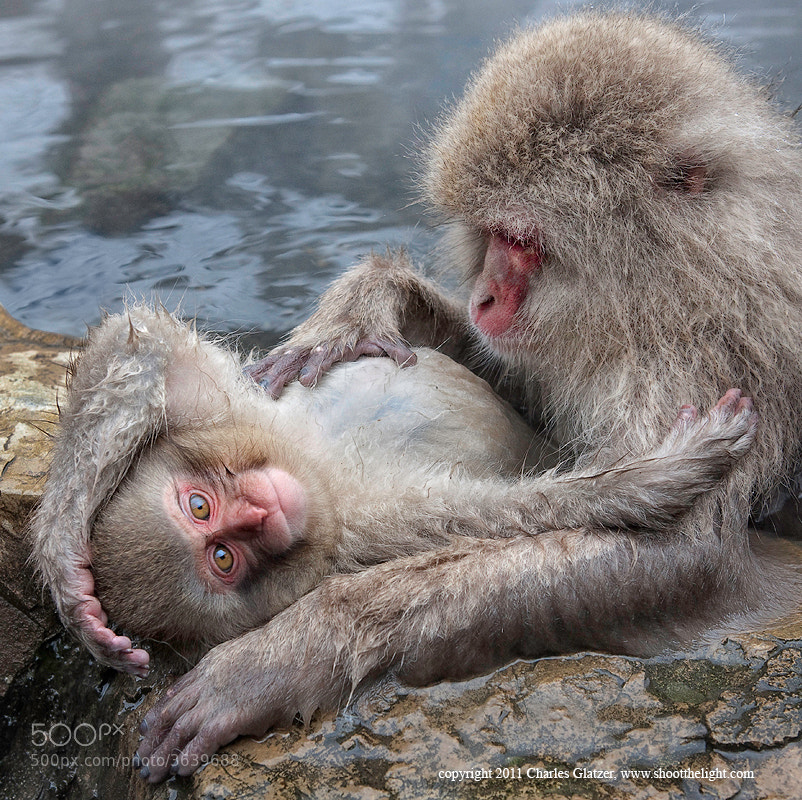 Photograph Snow monkeys, Japan by Charles Glatzer on 500px