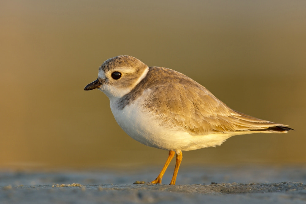 Photograph  Piping Plover (Charadrius melodus) by Dennis Heidrich on 500px