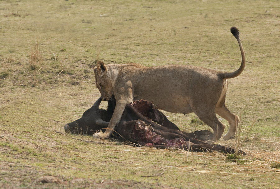 A Lioness drags the previous nights kill towards her cubs, which unfortunately never came out of the long grass. Taken on the flood plains of Zambezi River, Chikwenya, Zimbabwe