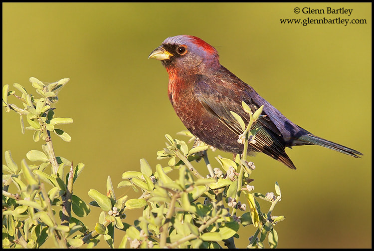 Photograph Varied Bunting (Passerina versicolor) by Glenn Bartley on 500px