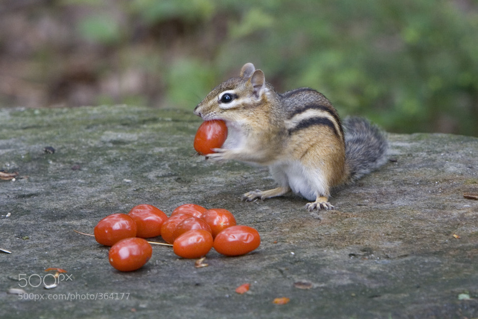 Photograph Cherry Tomato Thief by Larry Landolfi on 500px