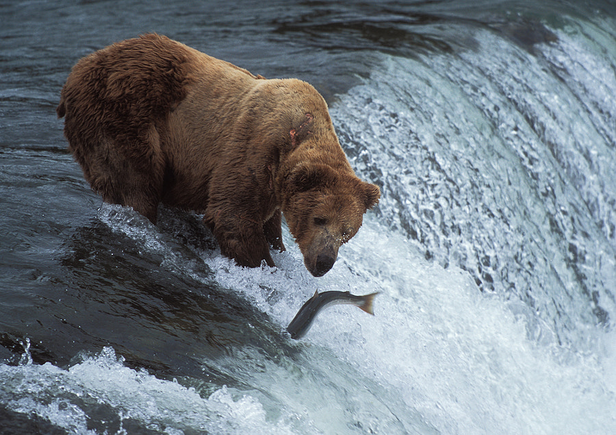 Goodbye is the last thing the Salmon said to the Bear before it did dive back in to the running water of Brooks Falls. The bear was very close though so far away because he didn't stand a chance to catch the fish :)  Shot taken on Fuji Provia 100F slide film. Did scan the slide with a Nikon Coolscan 4000ED.  Goodbye for now is also what l have to say to all of you. I'm to busy at the moment to spend much time down here on 500px. Will be back in around four weeks. Of course I will take a look down here now and again and hit the Like and or Favorite button for one of your great images. Just don't have the time to make comments in the coming period.  With this I do wish all of you Happy Holidays........... A Merry, Merry Christmas......... And all the best one could wish for in the coming 2012 year. Hope to see all of you back in good health and with lots of new images.  Bye for now.  Best regards and have a nice weekend,  Harry