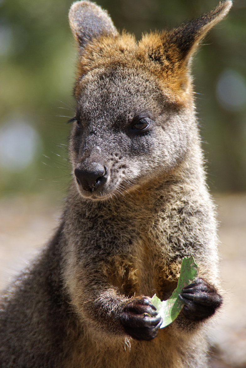 Photograph Wallaby by Matthew Weinel on 500px