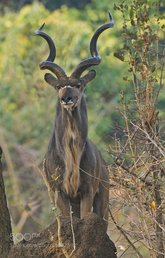 I have never seen a Kudu stand on a termite mound before , so I was happy to get this opportunity in Chikwenya, Zimbabwe
