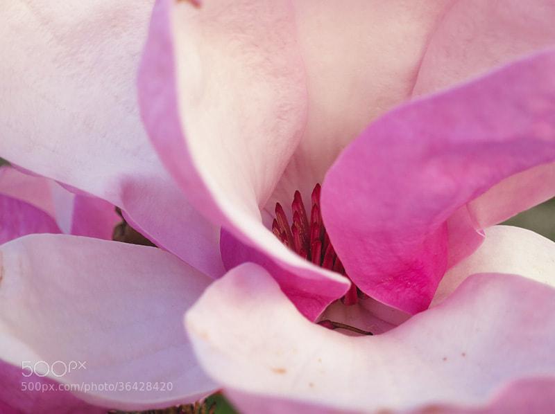 Photograph Magnolia by Paula Monteiro on 500px