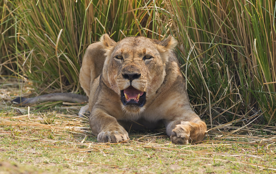 Fortunately this Lioness had just fed on the Buffalo being dragged off in my earler posting.  taken in Chikwenya concession, Zimbabwe