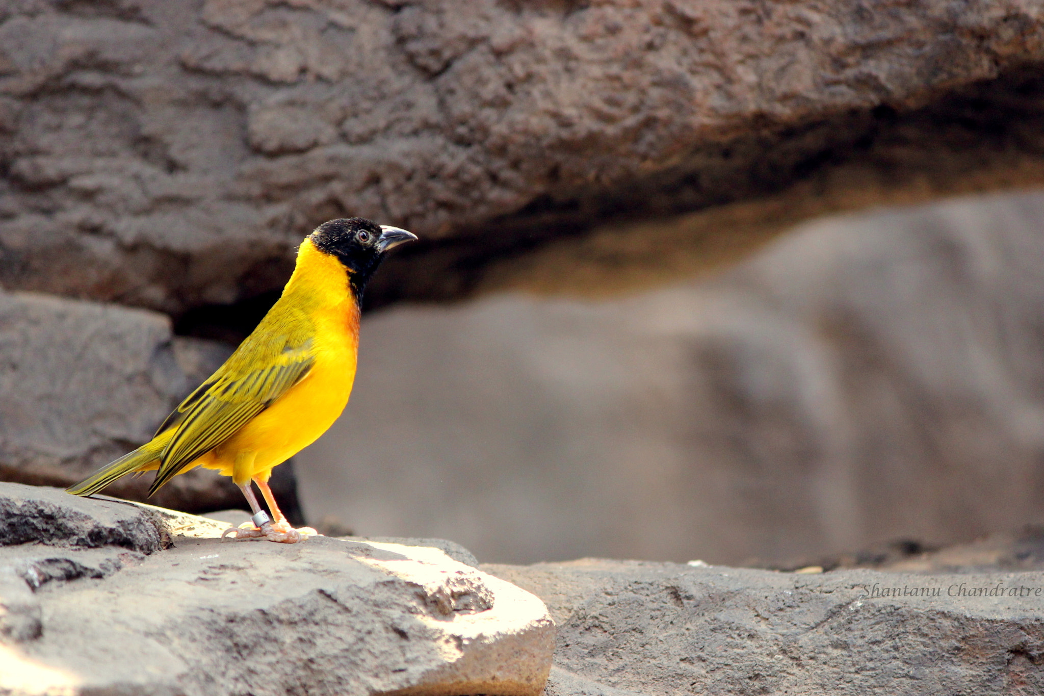 Photograph The yellow bird!  by Shantanu Chandratre on 500px