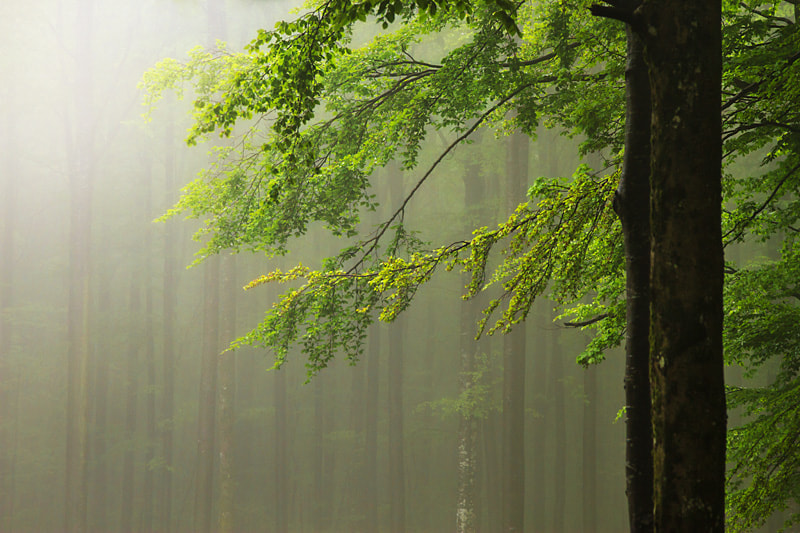 Photograph Beech in Mist by Gorazd Kranjc on 500px