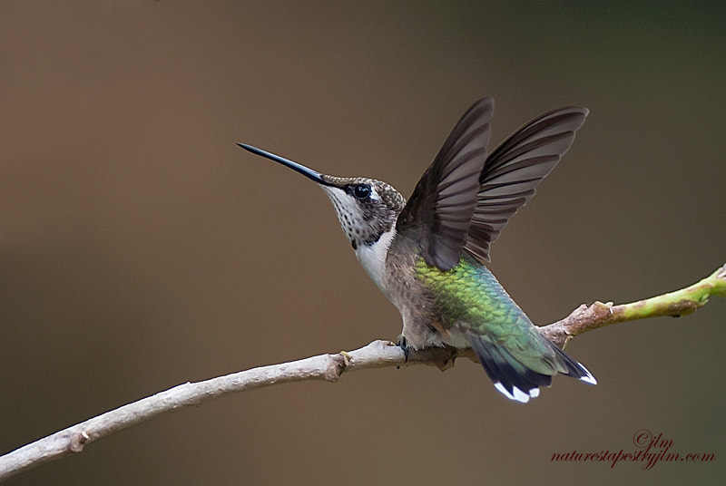 This was taken just as the female ruby throated hummingbird was landing.  they do not hae the brilliant color of the male but have a special beauty all of their own.