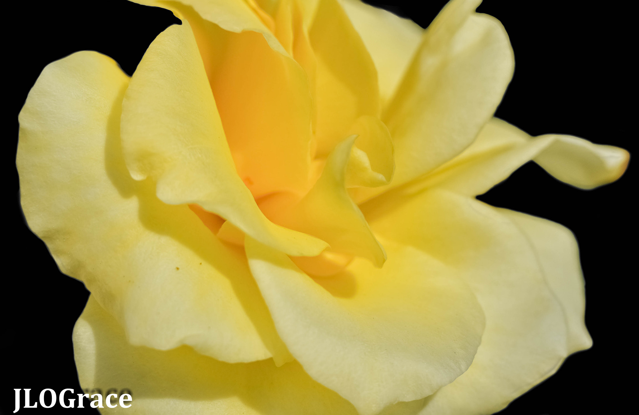 Photograph Yellow Rose by Janis Grace on 500px
