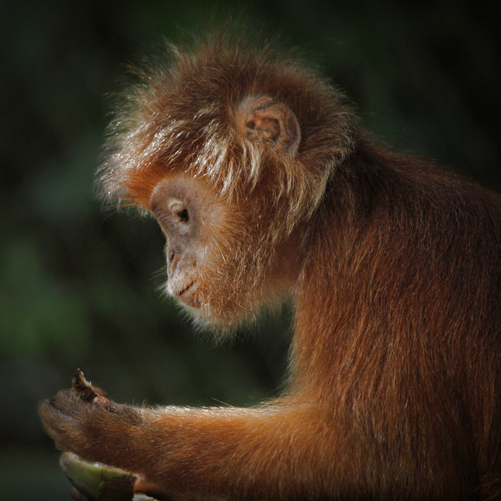 Photograph Javan Lutung by Irawan Subingar on 500px