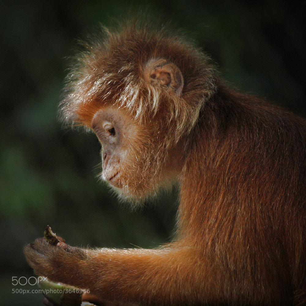 Photograph Javan Lutung by Irawan Subingar on 500px