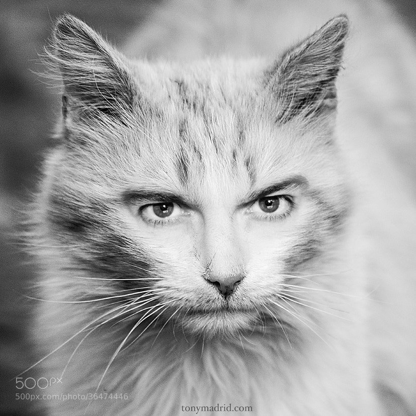 Photograph Gato cabreado. by Tonymadrid  on 500px