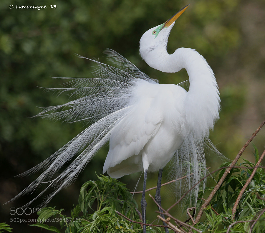 Great Egret in breeding plumage displaying for her mate.