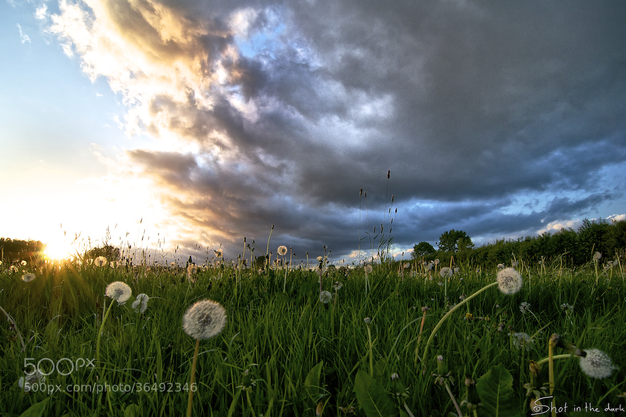 Photograph Dandelions sunset by Peter Bijsterveld on 500px