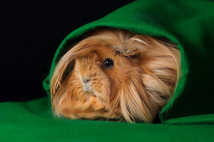 Meerschweinchen (Caviidae) by Helmut Lager on 500px.com