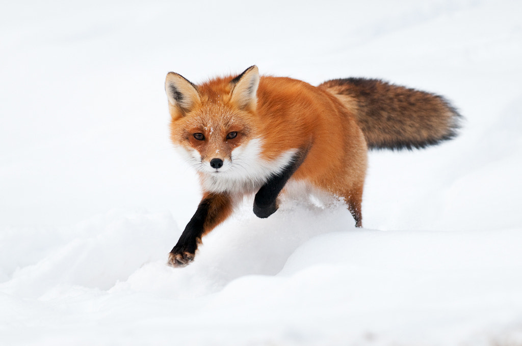 Photograph Red Fox Running in Snow by Alex Mody on 500px