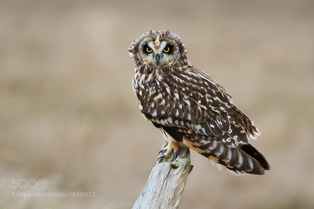 Photograph Short-eared Owl by Alex Mody on 500px
