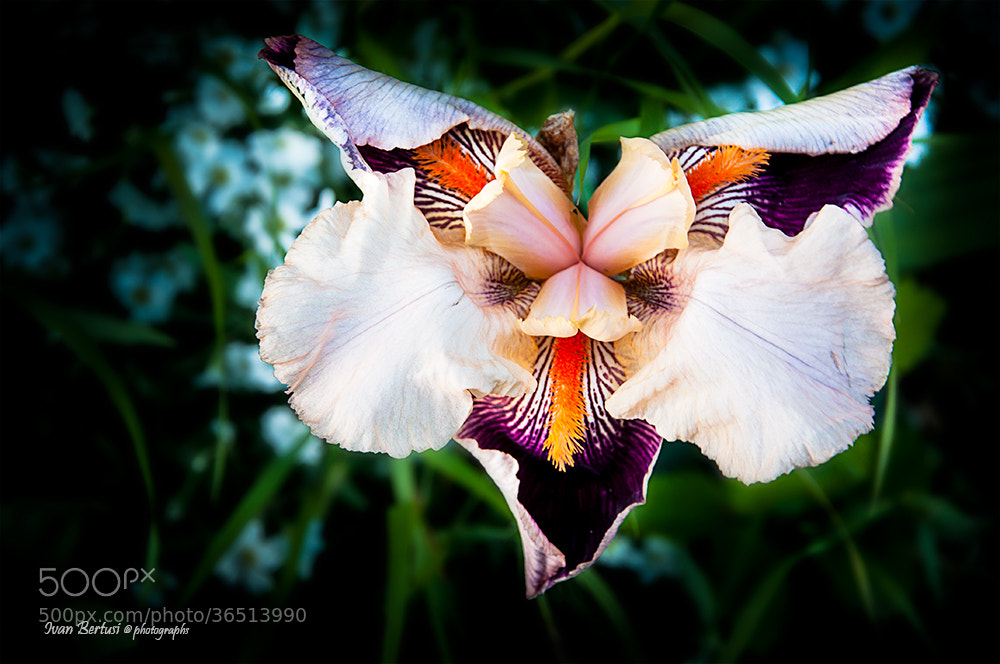 Photograph Flower by Ivan Bertusi on 500px
