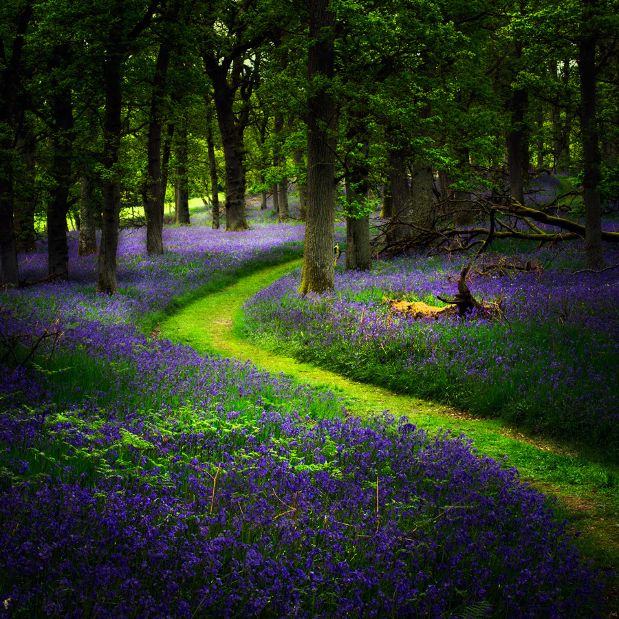 Photograph Bluebell path... by David Mould on 500px
