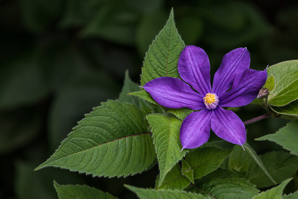 Photograph Clematis by David Kelly on 500px