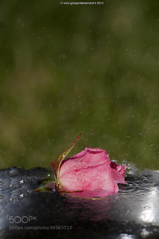 Photograph Rose dripping by giorgio debernardi on 500px