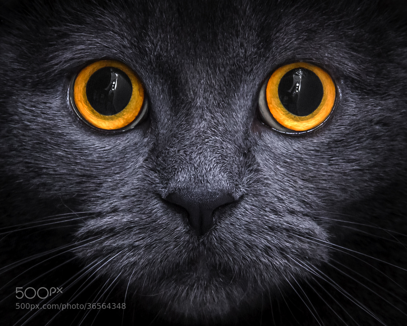 Photograph The Eyes of the Cat by Emanuele Colombo on 500px