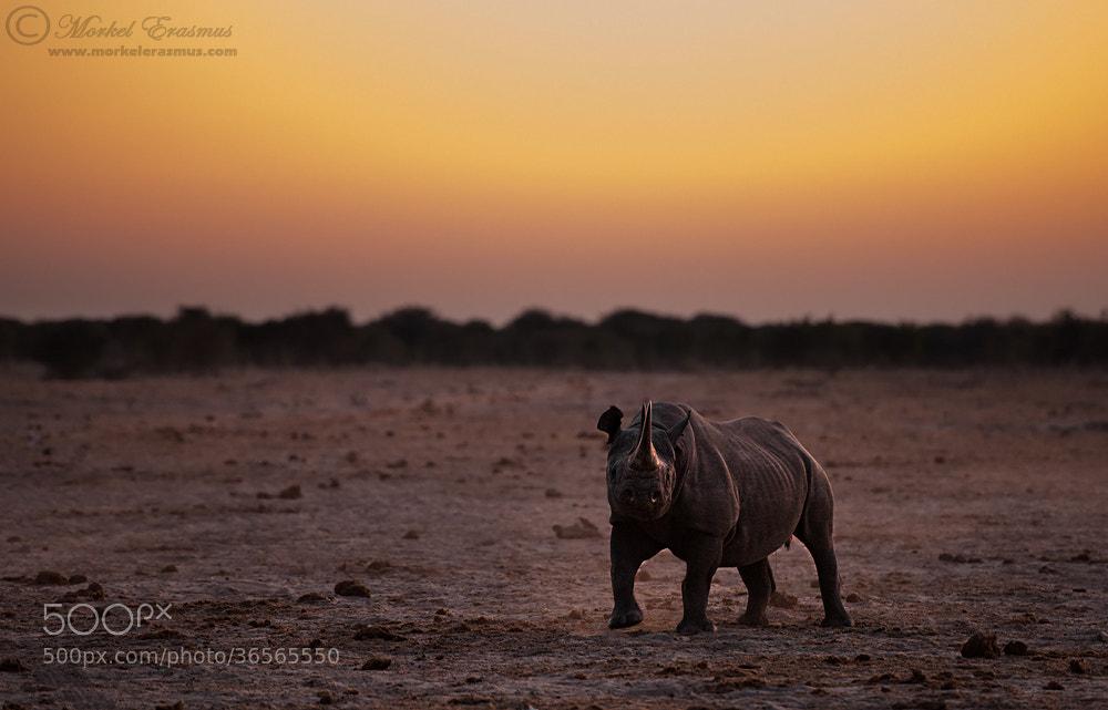 Photograph Rhino Dusk by Morkel Erasmus on 500px
