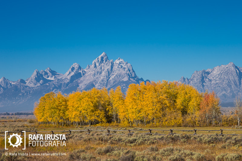 Photograph Cottonwoods in fall color by Rafa Irusta on 500px