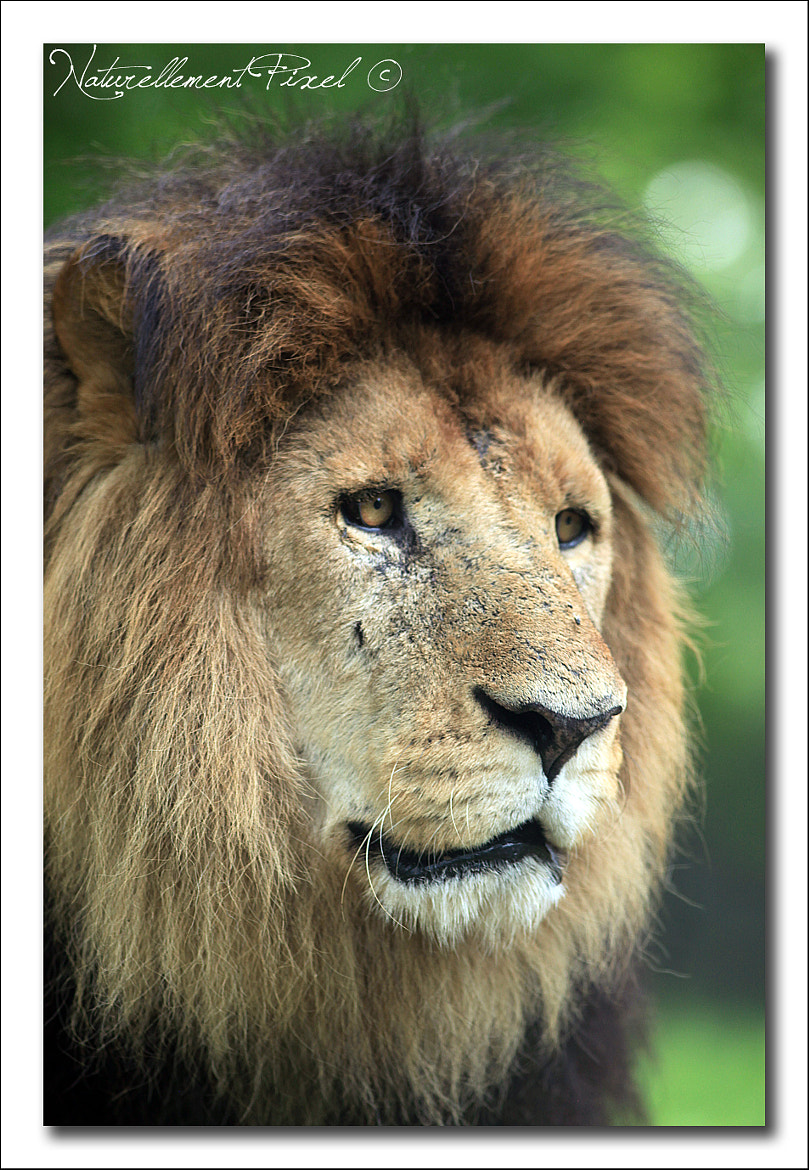 Photograph The Lion King by Emilie Manier on 500px