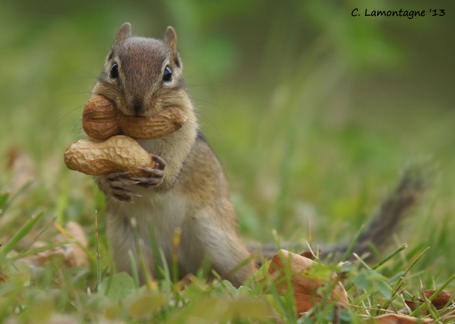 Eastern Chipmunk in my yard two summers ago. I later named him Peanut. He was quite young when I took this photo and wasn't able to put the nuts in his cheeks so he would carry them in his mouth one at a time.