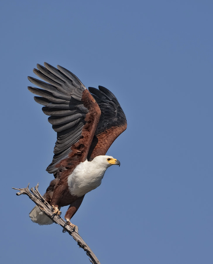 A Fish Eagle spreads his wings before taking off for a look around for some bream in Lake Kariba, Rhino Island, Matusadona National Park, Zimbabwe