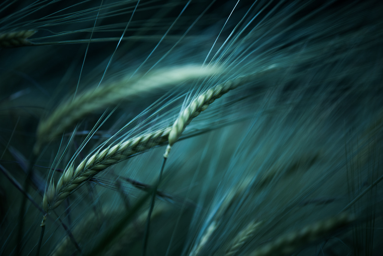 Photograph The Magnificent Dance of Wheat by Sylvain Rouvier on 500px