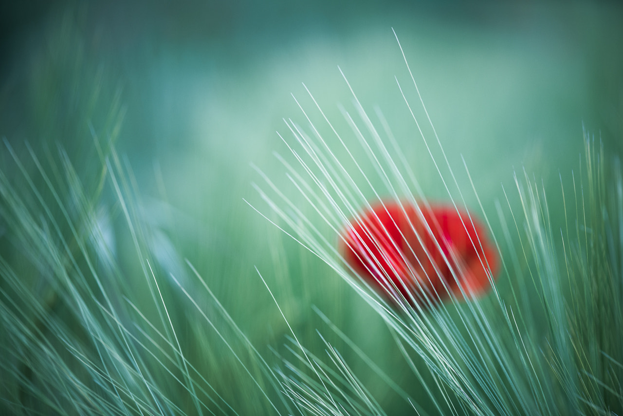 Photograph Poppies, wheat and wind by Sylvain Rouvier on 500px