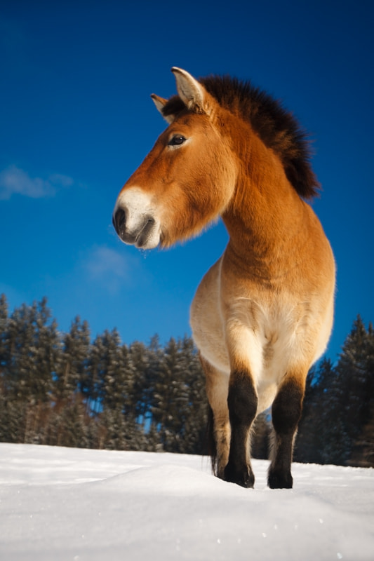 Photograph Curious horse (Przewalski`s horse) by Ales Gola on 500px